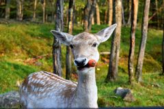 Meeting with a deer in wild nature with his carrot royalty free stock photo
