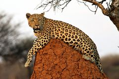 Cat Leopard - Namibia Africa royalty free stock photos