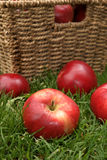 Discovery apples. Apple variety Discovery at harvest time, variety name Malus domestica Stock Images