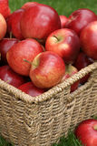 Discovery apples. Apple variety Discovery at harvest time, variety name Malus domestica Stock Photos