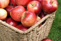 Discovery apples. Apple variety Discovery at harvest time, variety name Malus domestica Royalty Free Stock Photo