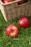 Discovery apples. Apple variety Discovery at harvest time, variety name Malus domestica Royalty Free Stock Image