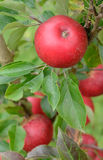 Discovery apples - vertical closeup Stock Images