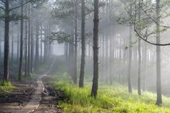 Discovery travel in the trail pine forest, vietnam. Background with magic sunrays, light, dense fog and fresh air part 17. Discovery travel in the trail pine stock image