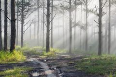 Discovery travel in the trail pine forest, vietnam. Background with magic sunrays, light, dense fog and fresh air part 12. Discovery travel in the trail pine stock photo