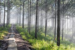 Discovery travel in the trail pine forest, vietnam. Background with magic sunrays, light, dense fog and fresh air part 2. Discovery travel in the trail pine royalty free stock images