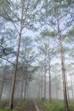 Discovery travel in the trail pine forest, vietnam. Background with magic sunrays, light, dense fog and fresh air part 4. Discovery travel in the trail pine royalty free stock images