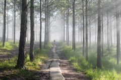 Discovery travel in the trail pine forest, vietnam. Background with magic sunrays, light, dense fog and fresh air part 3. Discovery travel in the trail pine royalty free stock photos