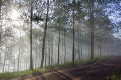Discovery travel in the trail pine forest, vietnam. Background with magic sunrays, light, dense fog and fresh air, environment. Discovery travel in the trail royalty free stock photo
