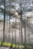 Discovery travel in the trail pine forest, vietnam. Background with magic sunrays, light, dense fog and fresh air part 11. Discovery travel in the trail pine royalty free stock images