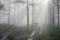 Discovery travel in the trail pine forest, vietnam. Background with magic sunrays, light, dense fog and fresh air part 9. Discovery travel in the trail pine royalty free stock images
