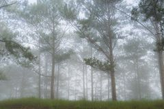 Discovery travel in the trail pine forest, vietnam. Background with magic sunrays, light, dense fog and fresh air part 8. Discovery travel in the trail pine stock photos