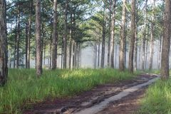 Discovery travel in the trail pine forest, vietnam. Background with magic sunrays, light, dense fog and fresh air part 7. Discovery travel in the trail pine royalty free stock photos