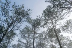 Discovery travel in the trail pine forest, vietnam. Background with magic sunrays, light, dense fog and fresh air part 5. Discovery travel in the trail pine royalty free stock photography