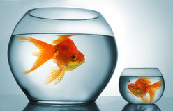 Discriminación de Golodfish Foto de archivo libre de regalías