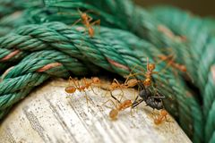 Discrimination black ant Stock Images