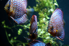 Discuis fish Stock Images