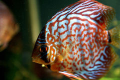 Discuis fish Stock Photography