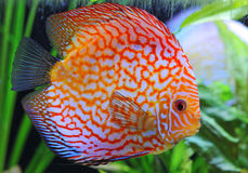 Discus Royalty Free Stock Photo