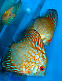 Discus Stock Photos