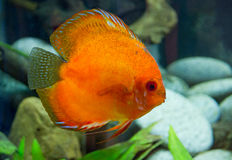 Discus Stock Photo