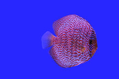 Discus. Stock Photos