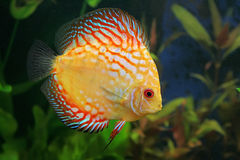 Discus. A wonderful Discus fish Royalty Free Stock Photography