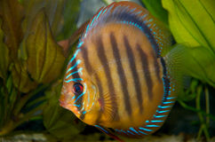 Discus. Fish in tank Stock Images