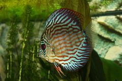 Discus Royalty Free Stock Image
