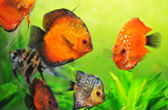 Discus in aquarium Stock Photos