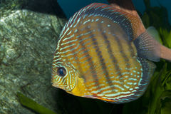 Discus in Aquarium Stock Photo