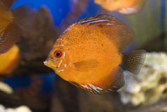 Discus in aquarium Royalty Free Stock Images