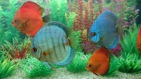 Discus aquarium Stock Images