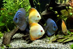 Discus Aquarium Fish. Blue and Orange Discus Fish - Symphysodon Aequifasciatus in a tropical freshwater aquarium Royalty Free Stock Image