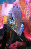 Discus aquarium fish Royalty Free Stock Photography