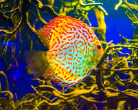 Discus for aquarium saltwater fish Royalty Free Stock Photo