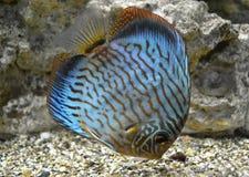 Discus for aquarium saltwater fish. Exotic animal royalty free stock image