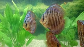 Discus - aquarium tropical fish species Stock Image