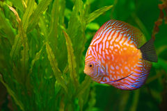 Discus in aquarium Stock Images