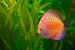 Discus in aquarium. Vividly colored discus ( Symphysodon ) between aquarium plants Stock Images