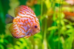 Discus in aquarium Stock Photos