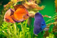 Discus in aquarium Royalty Free Stock Photography
