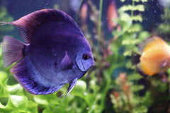 Discus blu. Blue discus aquarium floats among seaweed royalty free stock image