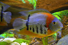 Discus Blue Royalty Free Stock Images