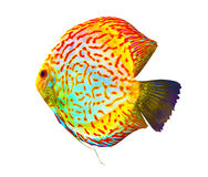 Discus. Discus for aquarium saltwater fish. Royalty Free Stock Photo