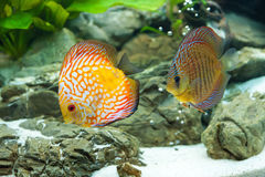 Discus Royalty Free Stock Photos