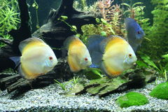 Discus-Fische Stockfotos