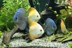 Discus-Fische Lizenzfreies Stockbild