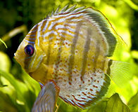 Discus fish 1 Royalty Free Stock Images