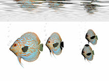 Discus Fish. A group of discus fish swim together in an aquarium royalty free stock images